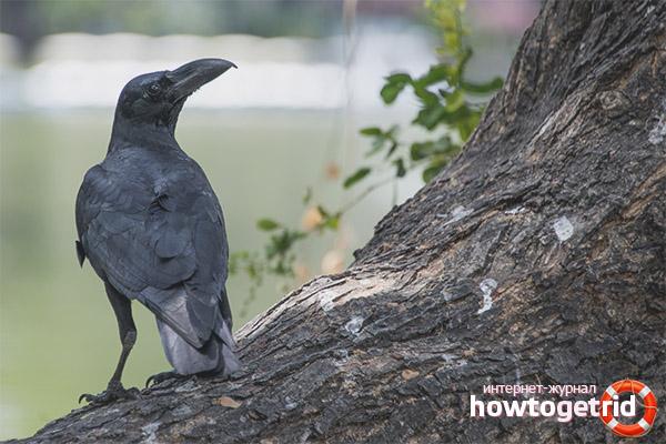 Особенности рациона питания большеклювой воронаы
