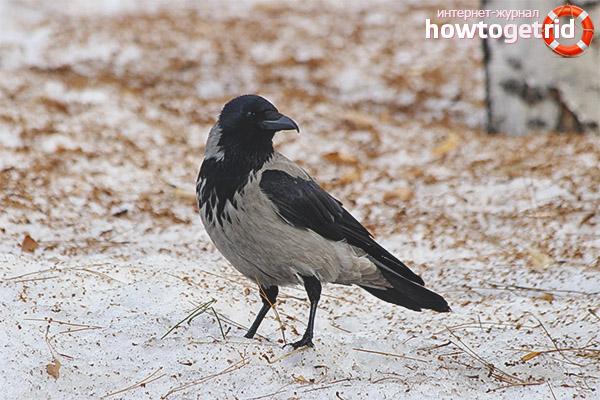 Среда обитания серой вороны