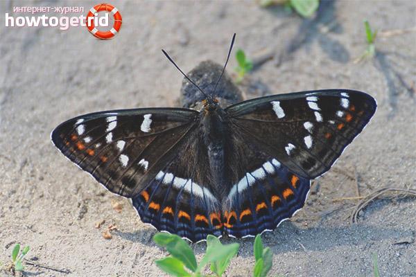 Бабочка ленточник