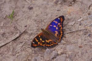 Бабочка переливница