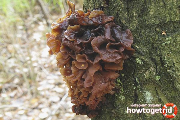 Дрожалка листоватая