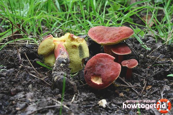 Гастрономические особенности моховика красного