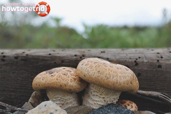 Где собирать шпальный гриб