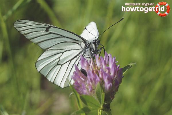 Образ жизни бабочки белянки
