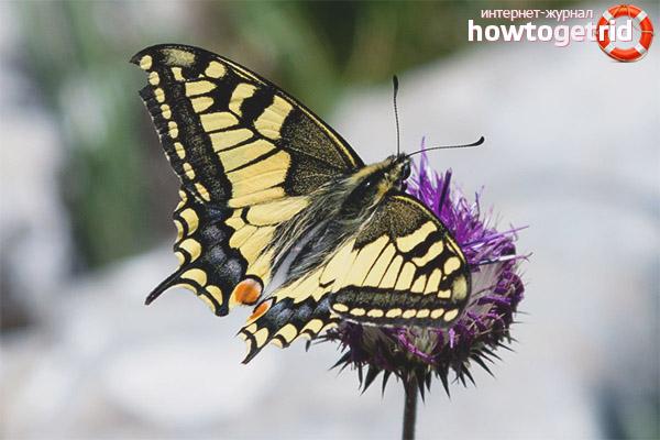 Образ жизни бабочки махаон