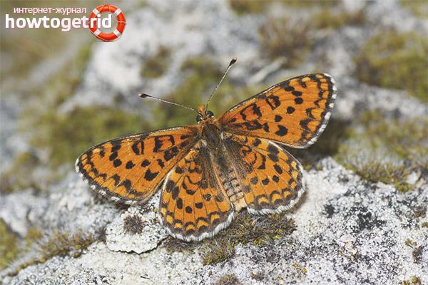 Описание бабочки шашечницы