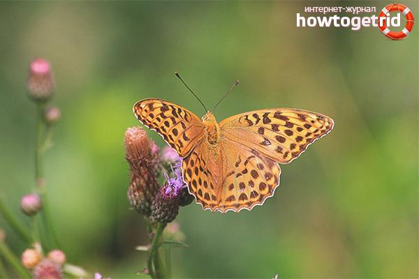 Особенности образа жизни бабочки перламутровки