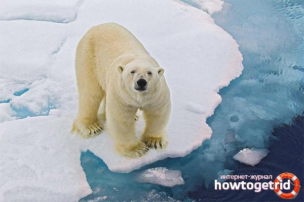 Питание белого медведя