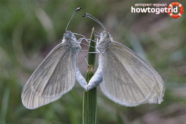 Размножение бабочки белянки