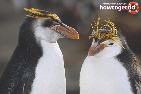 Размножение хохлатых пингвинов