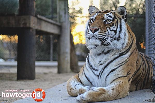 Брачный период бенгальского тигра