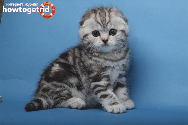 Что запрещено из еды для шотландских вислоухих котят