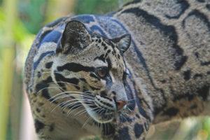 Дымчатый леопард