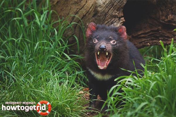 Характеристика образа жизни тасманийского дьявола