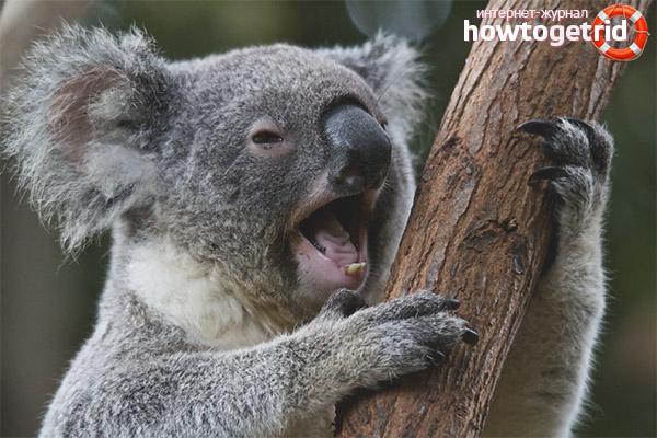 Места обитания коалы