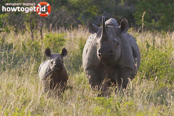 Образ жизни черного носорога