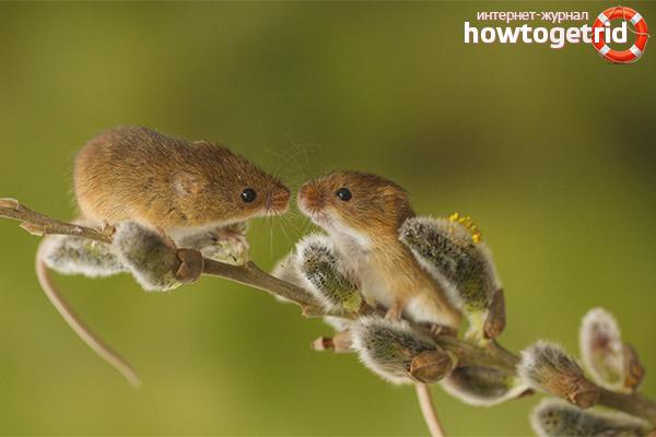 Образ жизни и особенности продолжения рода мыши-малютки