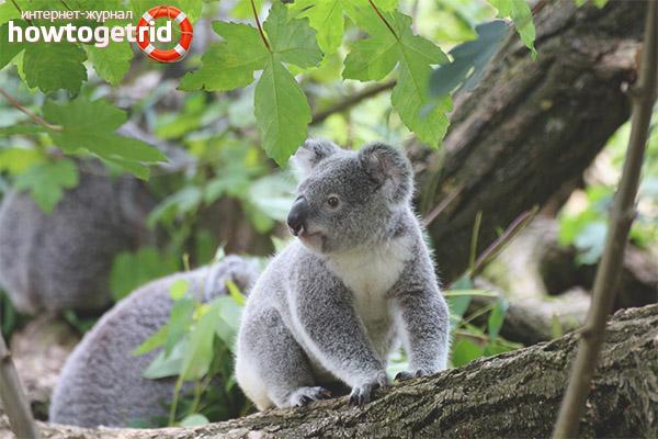 Образ жизни коалы