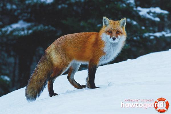 Образ жизни лисицы