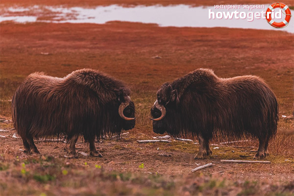 Образ жизни овцебыка и его характер
