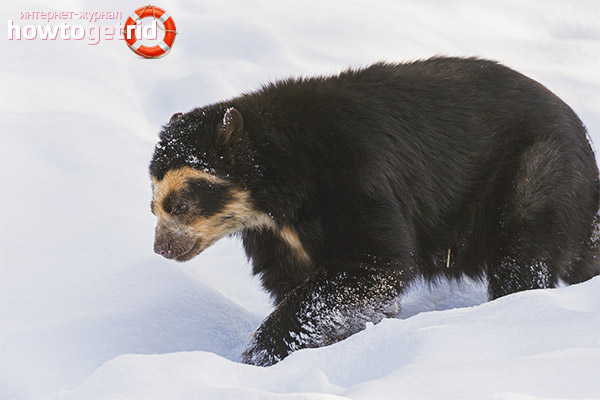 Особенности размножения и продолжительность жизни очкового медведя