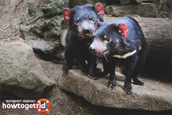 Особенности размножения тасманийского дьявола