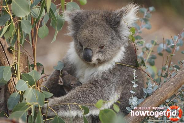 Период брачных игр и продолжение рода коалы