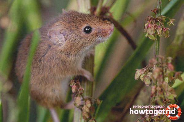 Питание мыши-малютки