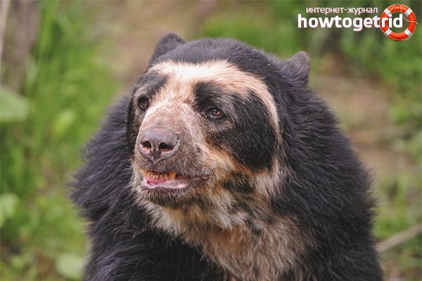 Питание очкового медведя