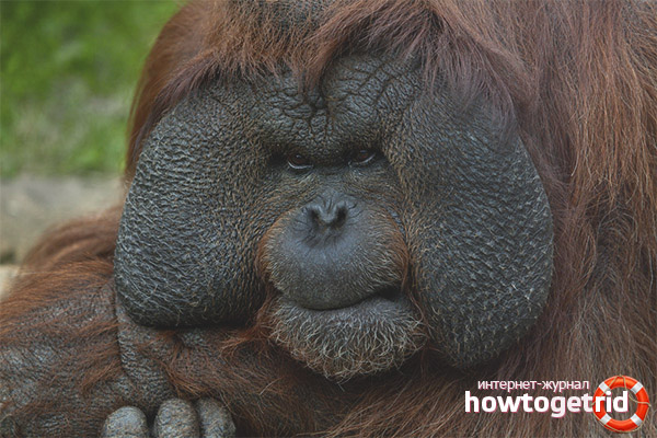 Питание суматранского орангутанга