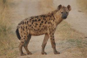 Пятнистая гиена