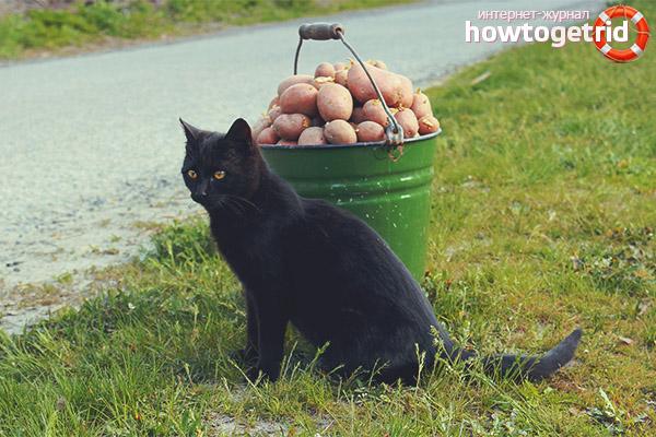 Почему кот просит картошку