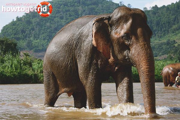 Почему у слонов нос в виде хобота