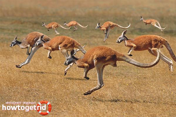 Популяция кенгуру