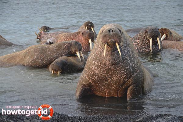 Популяция моржей