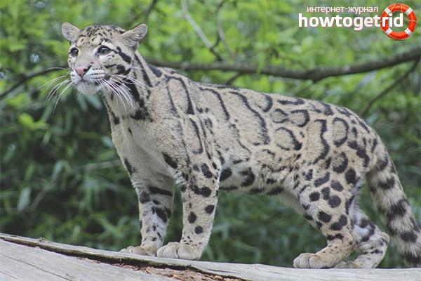 Поведение дымчатого леопарда