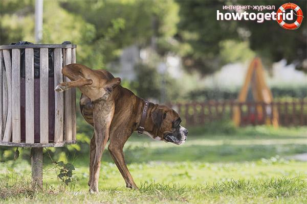 Причины частых мочеиспусканий у собак