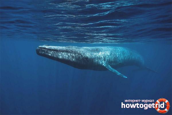Рацион синих китов