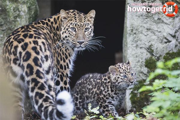 Размножение дальневосточного леопарда