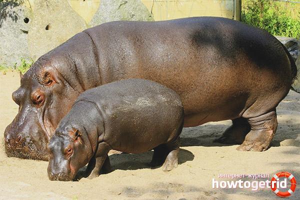 Размножение и продолжительность жизни бегемотов