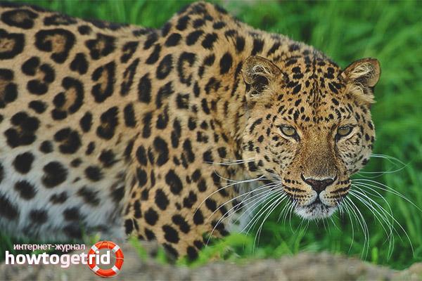 Размножение леопардов