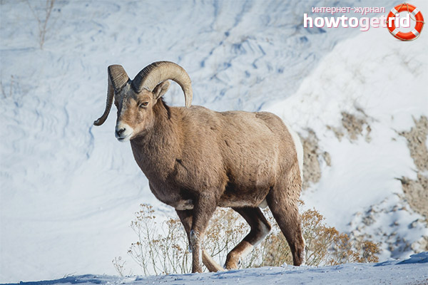 Размножение снежных баранов