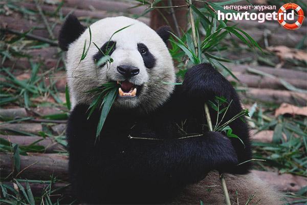 Символизм больших панд