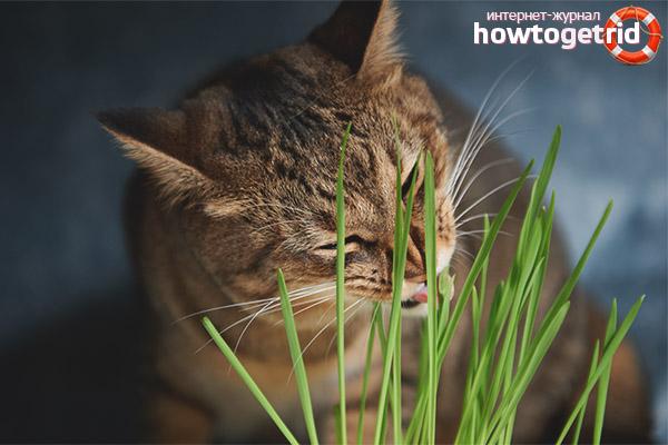Трава, которую потребляют кошки