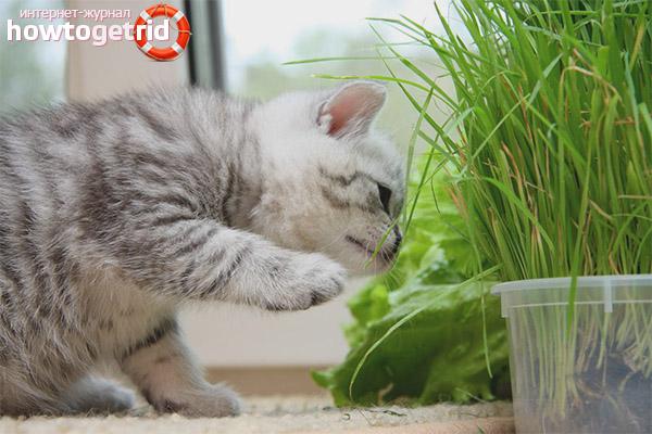 Выращивание травы для кошек дома