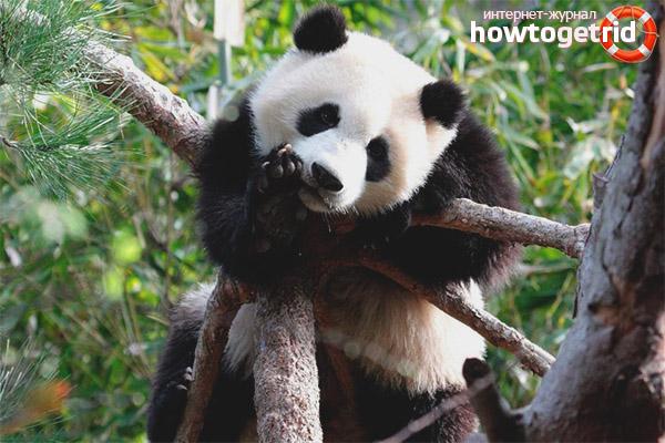 Жизнь в неволе и сохранение панды