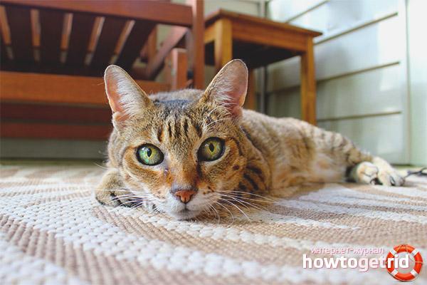 Адаптация взрослой кошки