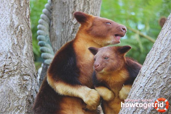 Факты о древесных кенгуру