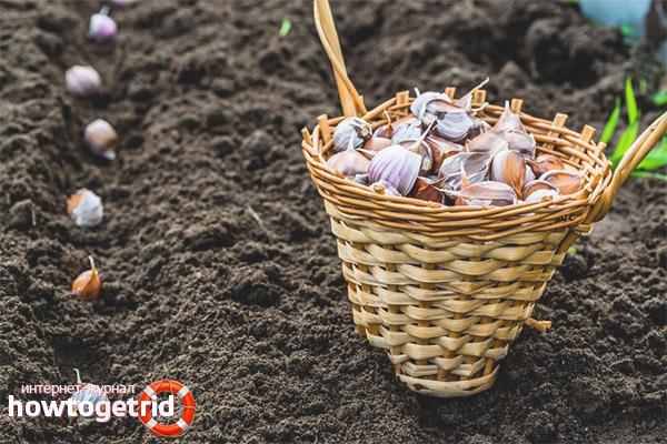 Как обработать почву перед посадкой чеснока в зиму