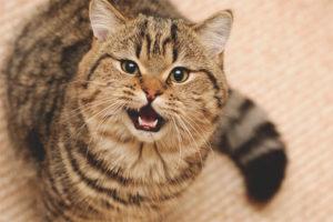 Как отучить кота или кошку мяукать